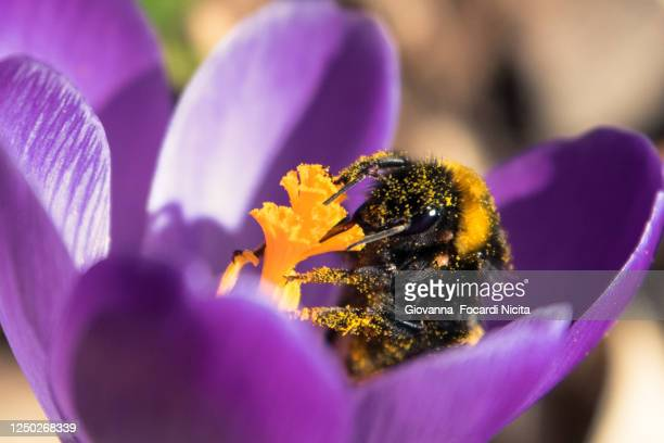 bumblebee dirty with pollen sucking nectar from a purple crocus - pollination stock pictures, royalty-free photos & images