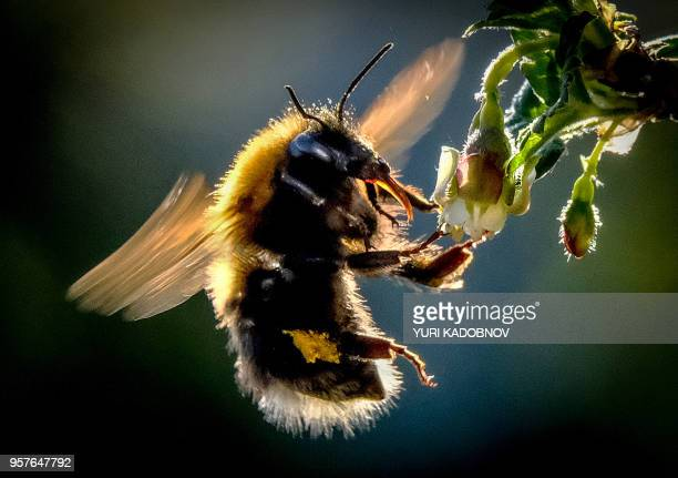 A bumblebee draws nectar from the flowers of a gooseberry bush in a garden outside Moscow on May 12 2018
