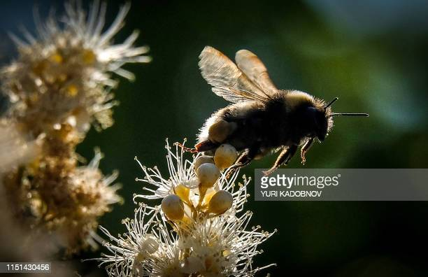 A bumblebee draws nectar from the flowers of a Sorbaria sorbifolia bush in a garden outside Moscow on June 22 2019