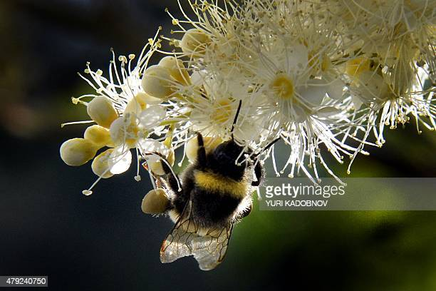 A bumblebee draws nectar from the flowers of a Sorbaria sorbifolia bush in a garden outside Moscow on July 2 2015 AFP PHOTO / YURI KADOBNOV