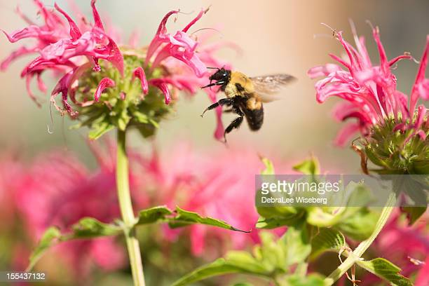 bumblebee feeding series - queen bee stock pictures, royalty-free photos & images