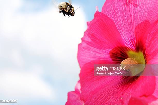 Bumblebee Flying By Pink Flower Against Sky