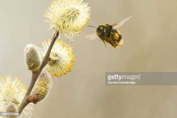 A Bumblebee (Bombus) flying to a flowering willow catkins .