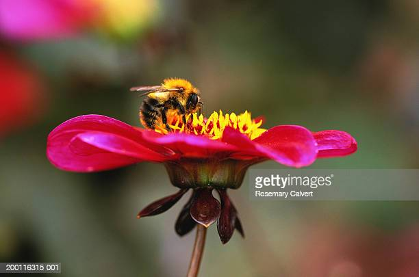 Bumblebee gathering nectar from roxy dahlia, close-up