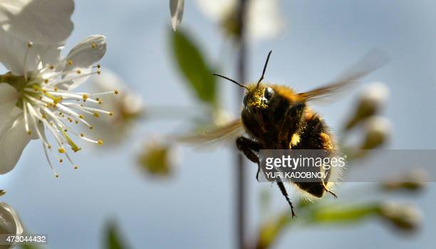 A bumblebee gathers pollen from a flower of cherry in a garden outside Moscow on May 12 2015 AFP PHOTO / YURI KADOBNOV