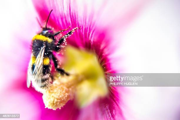A bumblebee gathers pollen from a pink hollyhock in Godewaersvelde northern France on July 31 2015 AFP PHOTO / PHILIPPE HUGUEN