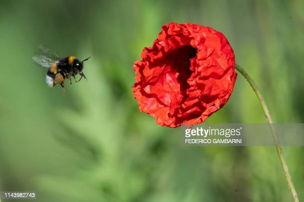 Bumblebee heads for a red poppy on May 15, 2019 in Nievenheim near Dormagen, western Germany. / Germany OUT