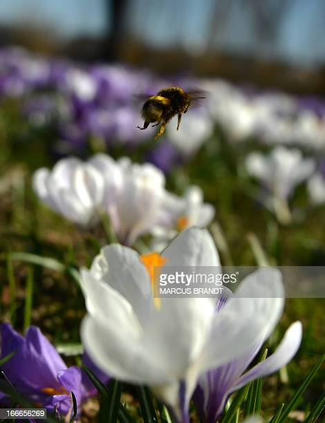 A bumblebee hovers over crocuses on April 15 2013 in Hamburg northern Germany Temperatures in the Hanseatic city are to reach up to 21 degrees...