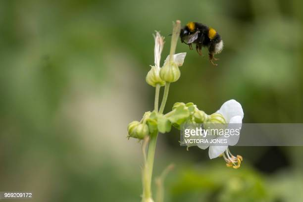Bumblebee hovers over Dusky Cranesbill geraniums, which are being grown for the wedding of Britain's Prince Harry and Meghan Markle, at the Royal...
