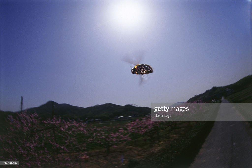 Bumblebee in flight, view directly below : Stock Photo