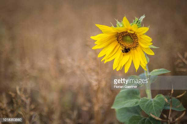 A bumblebee is pictured on a sunflower on August 15 2018 in Boxberg Germany