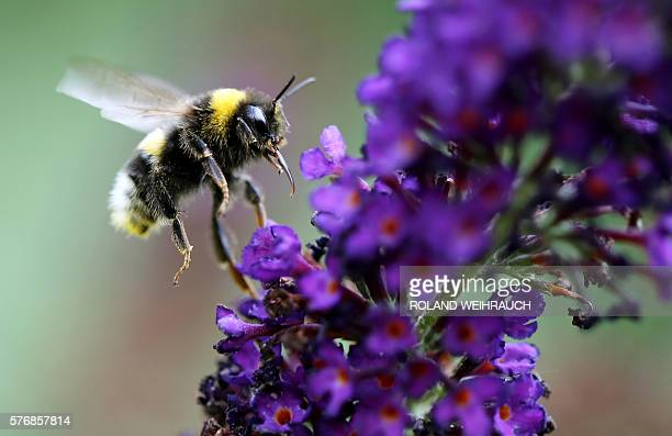 A bumblebee is pictured on July 18 2016 in Essen / AFP / dpa / Roland Weihrauch / Germany OUT