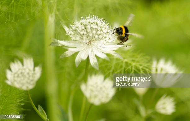 Bumblebee is pictured on the press day of the Chelsea Flower Show in London, on May 19, 2008. Originally known as the Great Spring Show, it was first...