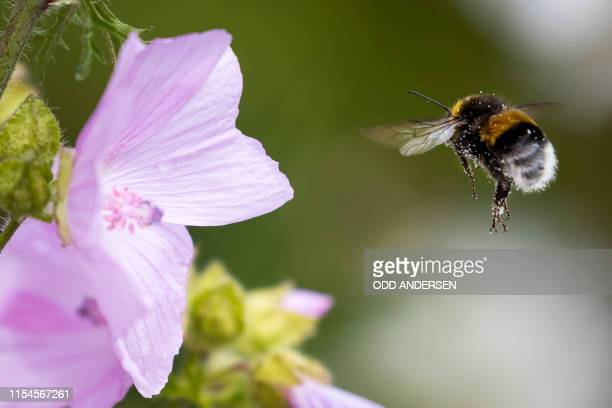 Bumblebee lands on a Bloody Cranesbill flower at Lindoya island in Oslo on July 07, 2019.