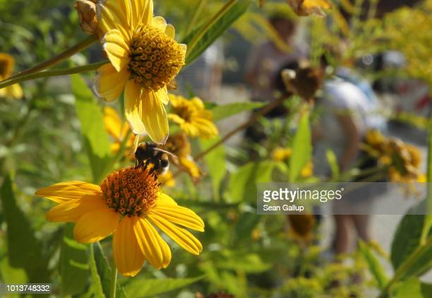 A bumblebee lands on a flower as workers from NABU Germany's biggest NGO for conservation and the study of nature inspect an urban garden for insects...