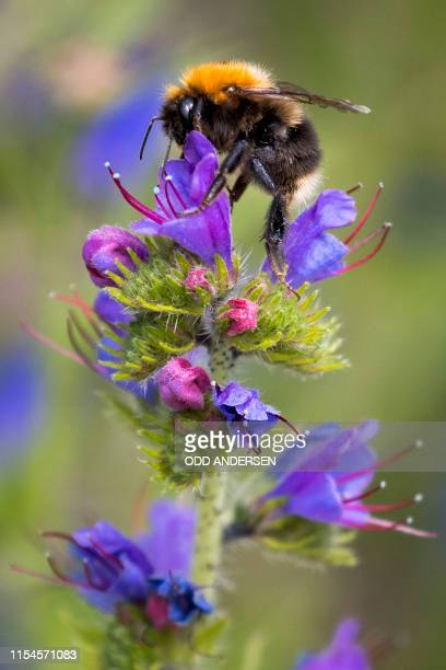 A bumblebee lands on a Stonecrop flower at Lindoya island in Oslo on July 07 2019