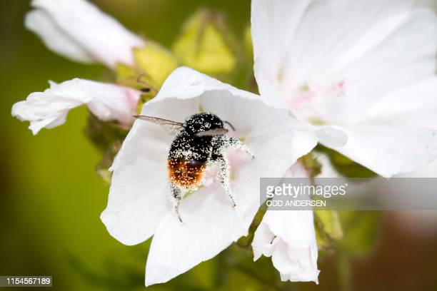 A bumblebee lands on a White Cranesbill flower at Lindoya island in Oslo on July 07 2019 / The erroneous mention[s] appearing in the metadata of this...