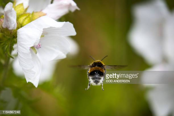 A bumblebee lands on a White Cranesbill flower at Lindoya island in Oslo on July 07 2019