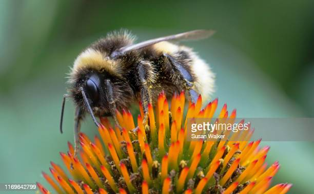 bumblebee macro - sting stock pictures, royalty-free photos & images