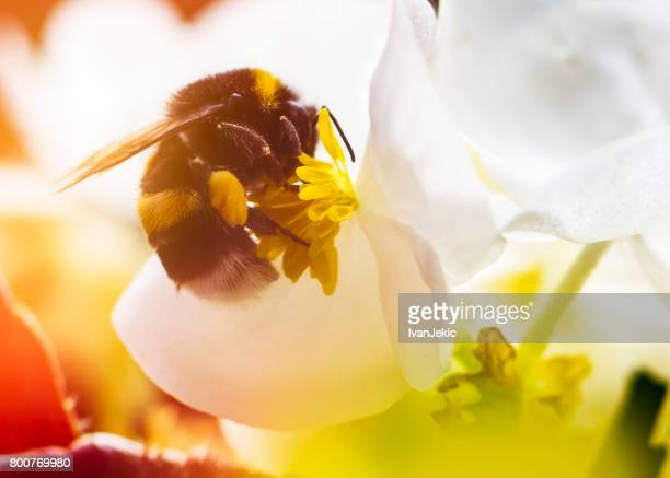 Bumblebee on a flower closeup