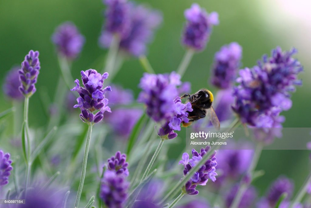 Bumblebee on a lavender : Stock Photo