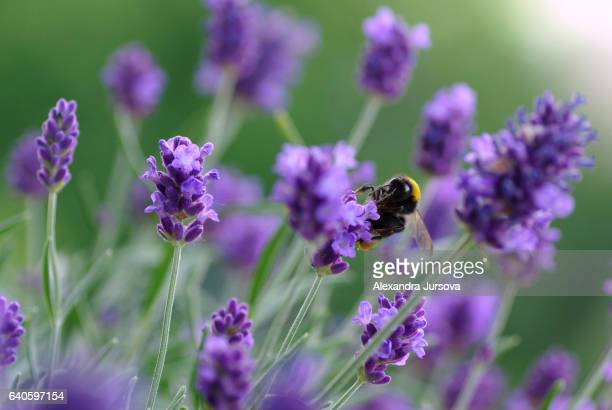 Bumblebee on a lavender