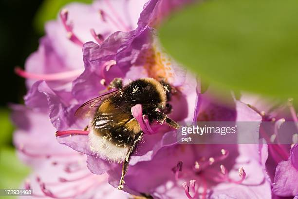 bumblebee (bombus terrestris) on a rhododendron flower - pejft stock pictures, royalty-free photos & images