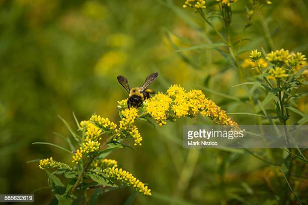 bumblebee on goldenrod wildflower - goldenrod stock pictures, royalty-free photos & images