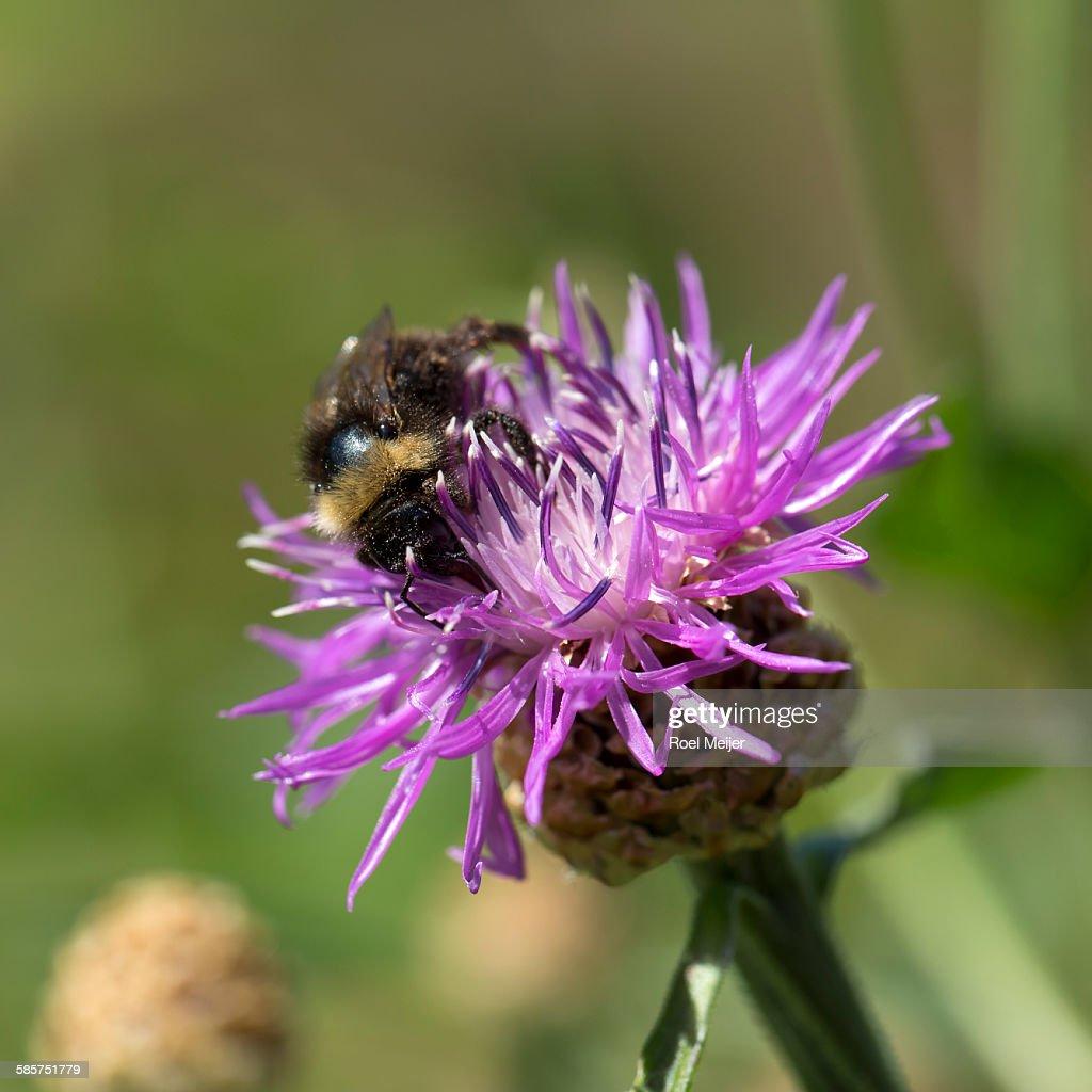 Bumblebee on knapweed : Stock Photo