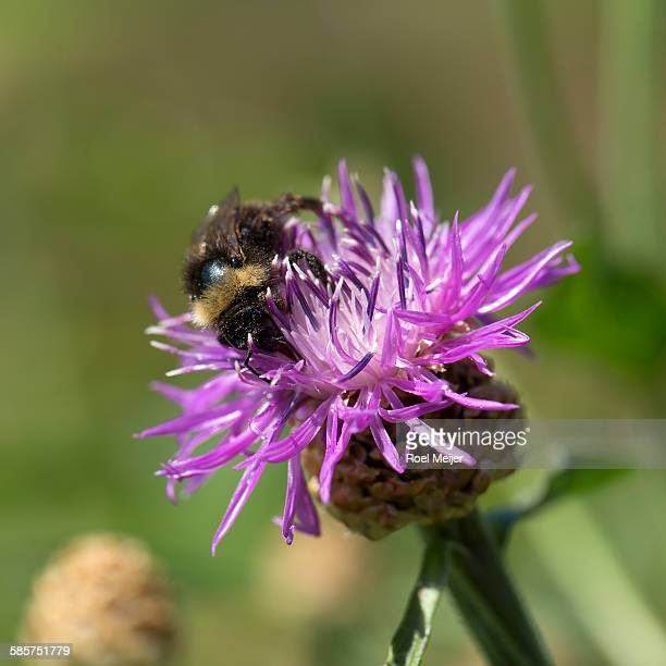 bumblebee on knapweed - dalsland stock photos and pictures