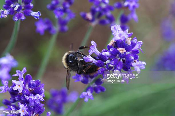Bumblebee on Lavender Flower