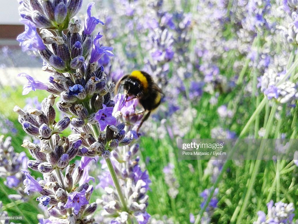 Bumblebee On Lavenders In Lawn : Stock Photo
