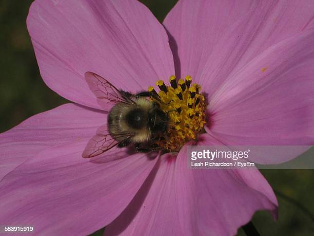 Bumblebee On Pink Flower
