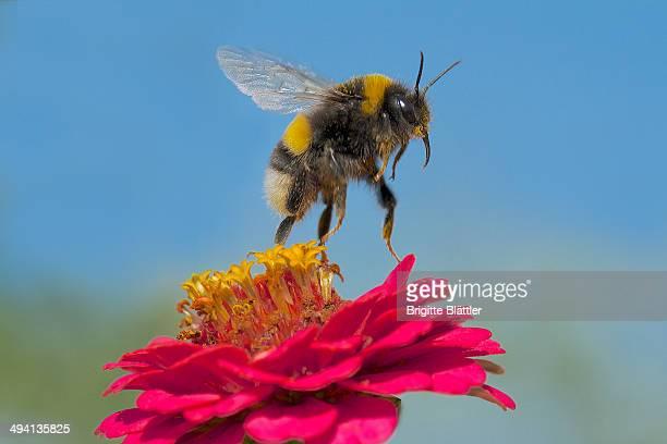 Bumblebee on pink zinnia