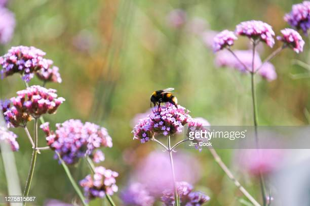 bumblebee on purpletop vervain - wildlife stock pictures, royalty-free photos & images