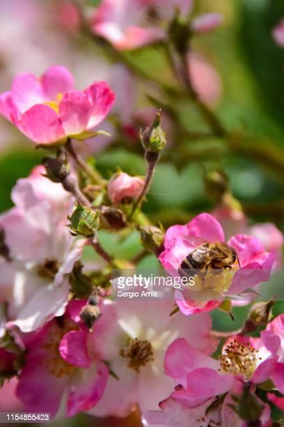 Bumblebee on sweetbriar rose flowers
