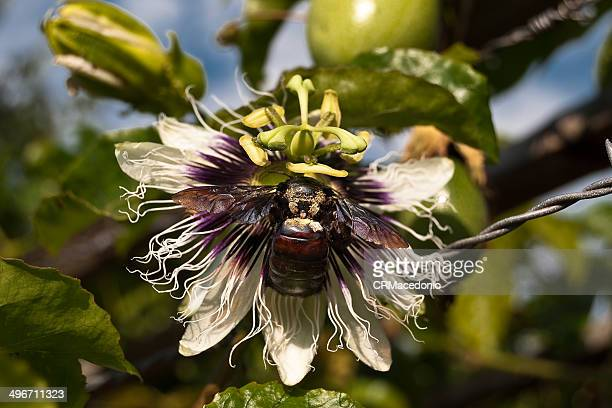 bumblebee on the passion flora - crmacedonio stock photos and pictures