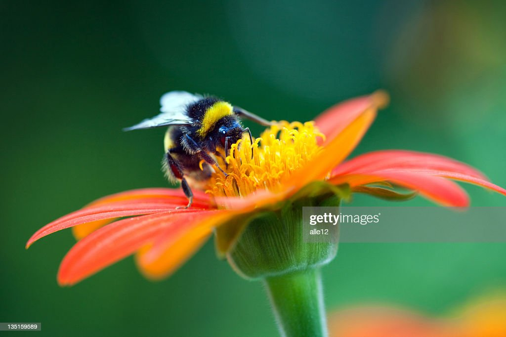 Bumblebee on the red flower : Stock Photo