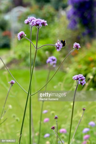 Bumblebee on verbena flowers