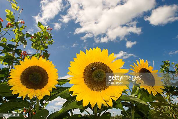 Bumblebee on Yellow Sunflowers (Helianthus) Against Sky Background