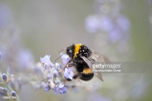 Bumblebee perching on lavender flowers