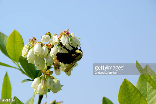 Bumblebee Pollinating Blueberry Blossoms
