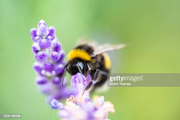 bumblebee pollinating lavender - gliedmaßen körperteile stock-fotos und bilder