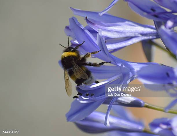 Bumblebee Pollinating On purple Agapanthus