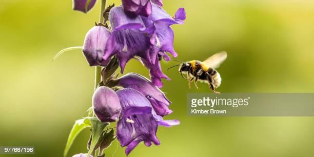 bumblebee pollinating purple flower, new zealand - calabrone foto e immagini stock