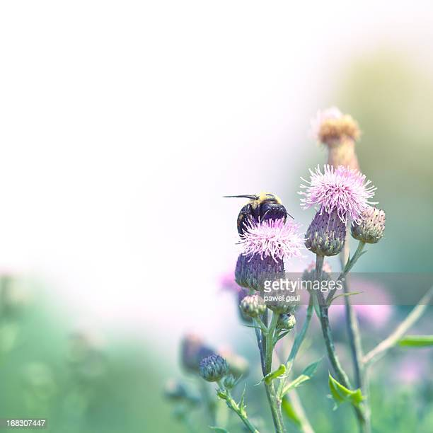 Bumblebee pollinating thistle in meadow