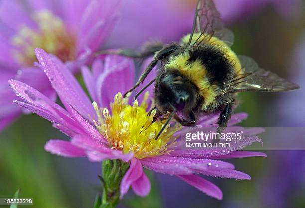 A bumblebee sits on a blooming aster on October 25 2013 in Nochten eastern Germany AFP PHOTO / DPA / MATTHIAS HIEKEL / GERMANY OUT
