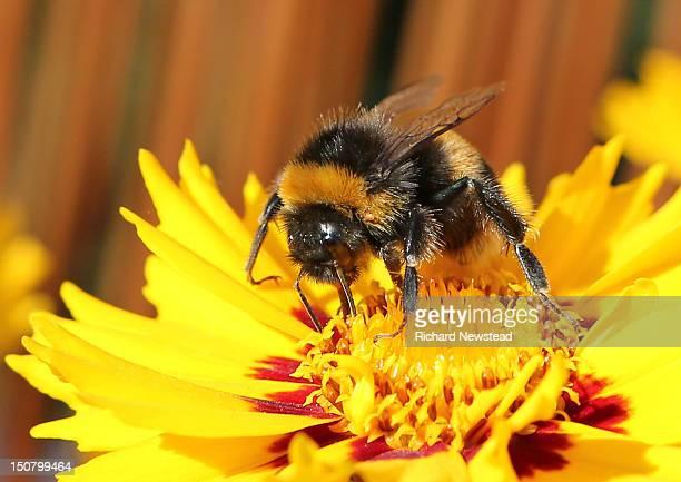 Bumblebee sucking nectar