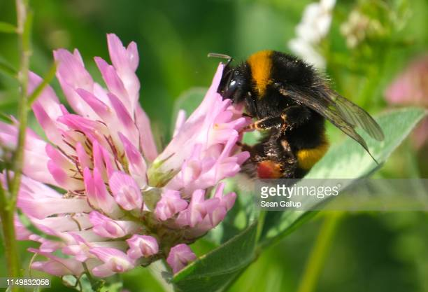 A bumblebee sucks nectar from a flower on May 17 2019 in Berlin Germany May 20 is World Bee Day which is drawing more attention this year in...