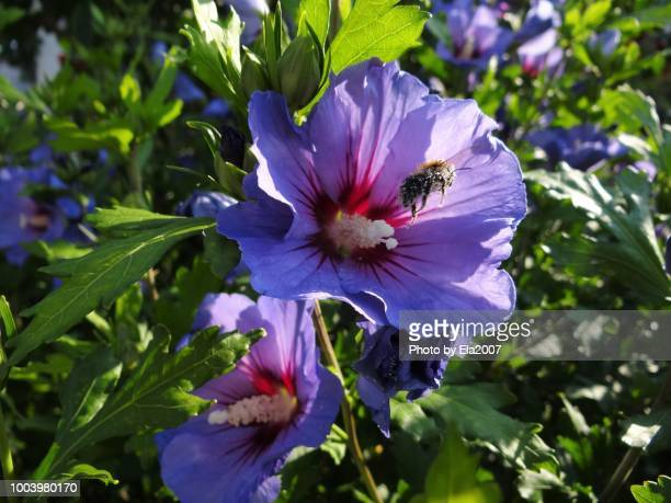 Bumblebee with pollen flies in the mallow